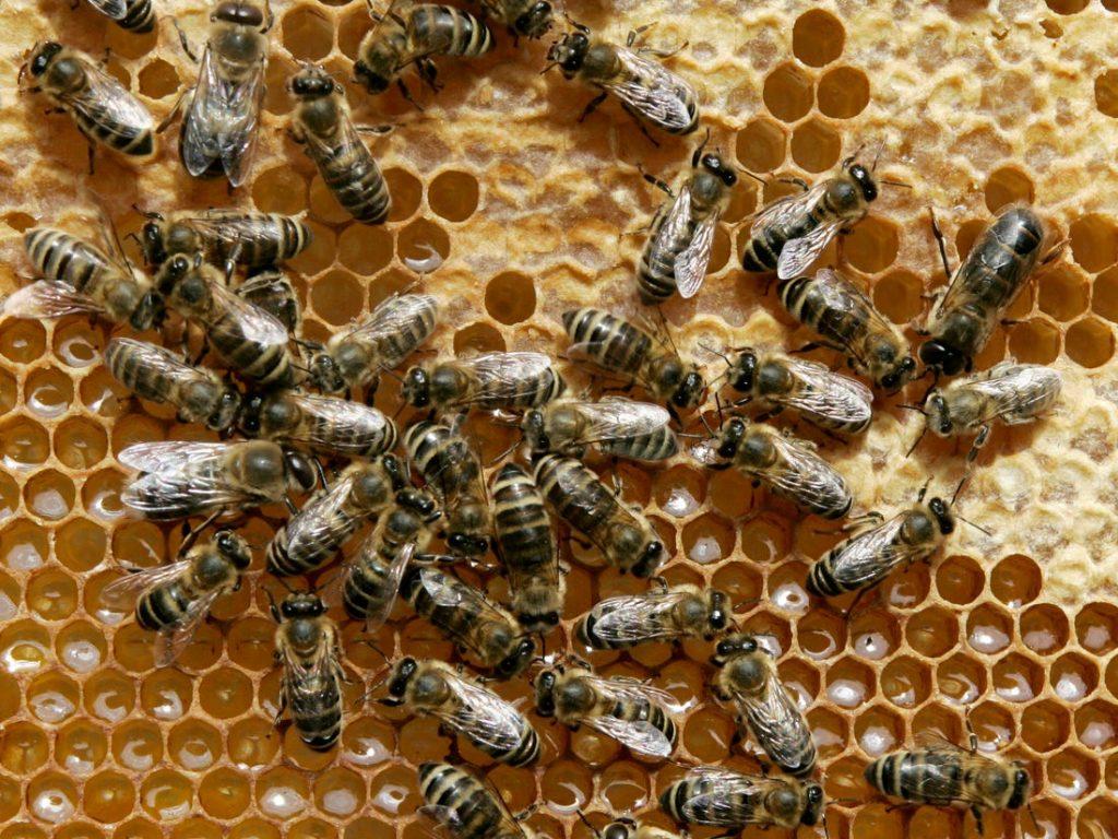 Объявлен конкурс грантов на развитие пчеловодства. Сумма каждого гранта от 350 тысяч до 900 тысяч леев