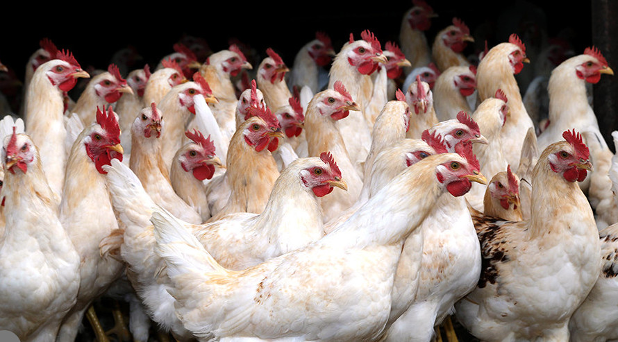 В Молдову запрещен ввоз мяса птицы из Винницкой области в связи со вспышкой птичьего гриппа