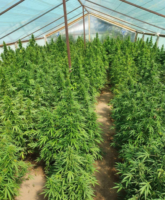 выращивание конопли в теплице